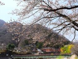 昼神温泉郷 阿知川沿い桜並木