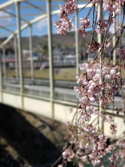 天竜峡 桜