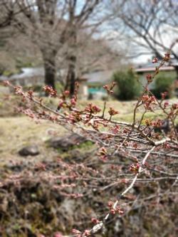 昼神温泉朝市広場 桜