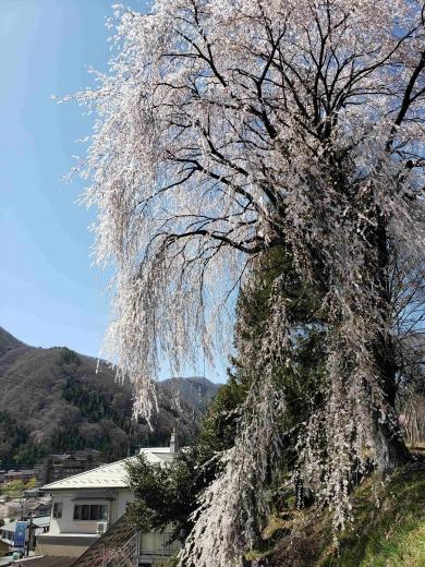 昼神温泉郷入口枝垂桜