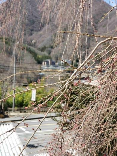 昼神温泉郷入口 枝垂桜
